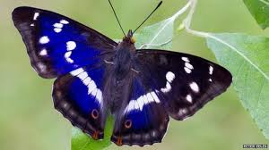 Purple Emporer Butterfly